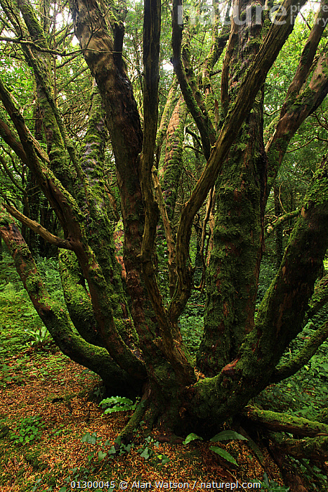 Yew tree (Taxus baccata) in temperate forest, Killarney National Park, County Kerry, Republic of Ireland, Europe  ,  CONIFERS,EUROPE,FORESTS,GYMNOSPERMS,HABITAT,IRELAND,NP,PLANTS,TAXACEAE,TEMPERATE,TREES,VERTICAL,WOODLANDS,National Park  ,  Alan Watson