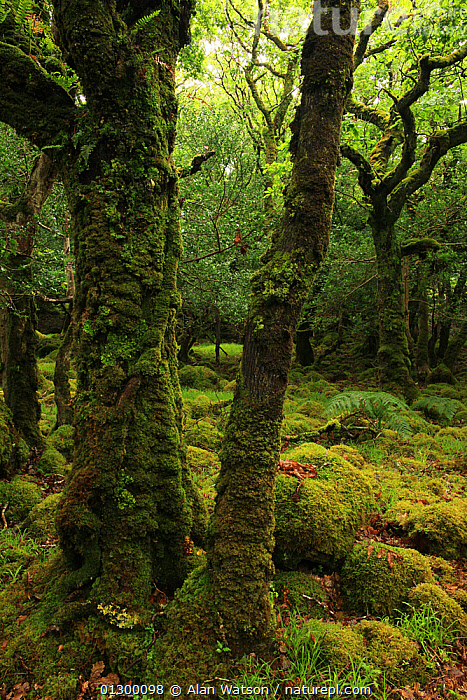 Moss-covered Oak trees (Quercus petraea) and boulders, Tomies Wood, Killarney National Park, County Kerry, Republic of Ireland, Europe  ,  aquifolium,ATMOSPHERIC,boulder,boulders,CATALOGUE2,county kerry ,covering,damp,DICOTYLEDONS,EIRE,EUROPE,FAGACEAE,forest floor,FORESTRY,FORESTS,HABITAT,HOLLY TREE ,ilex,IRELAND,Kilarney National Park,MOSS,nature,Nobody,NP,OAK TREE ,outdoors,PLANTS,Quercus petraea,republic of ireland,TEMPERATE,Tomies Wood,tree trunk,TREES,VERTICAL,woodland,WOODLANDS,National Park  ,  Alan Watson