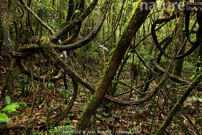 Nature Picture Library View Of The Forest Floor With Twisted Vines
