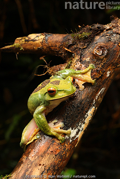 Portrait of Female Giant tree frog (Boophis albilabris) Ranomafana National Park, Madagascar  ,  AMPHIBIANS,ANURA,FEET,FEMALES,FROGS,GREEN,MADAGASCAR,PORTRAITS,TREE FROGS,VERTEBRATES,VERTICAL  ,  Alan Watson