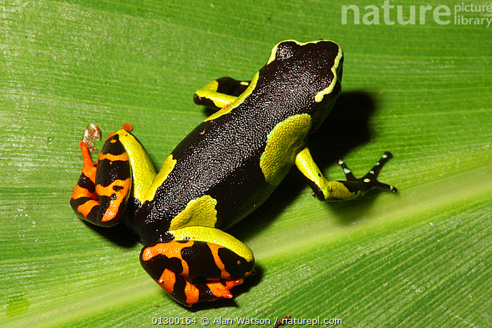 Baron's mantella frog (Mantella baroni) sitting on leaf in rainforest at 1,200 metres, Ranomafana National Park, Madagascar  ,  AMPHIBIANS,ANURA,COLOURFUL,FROGS,HABITAT,NP,TREE FROGS,TROPICAL RAINFOREST,VERTEBRATES,National Park  ,  Alan Watson