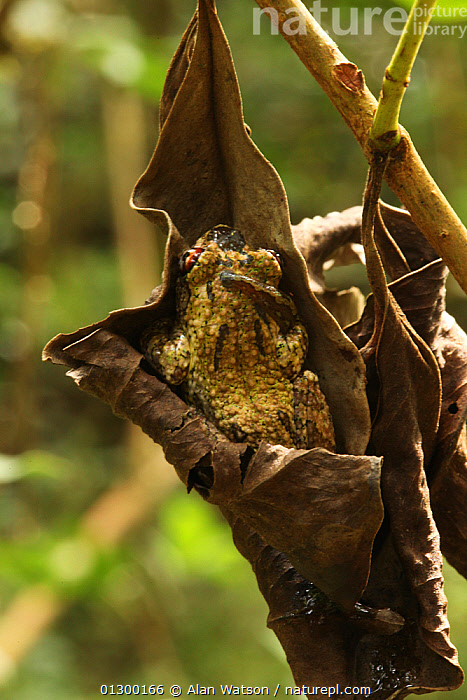 Tree frog (Boophis guibei) resting in dead leaf in rainforest at 1,200 metres, Ranomafana National Park, Madagascar  ,  AMPHIBIANS,ANURA,BEHAVIOUR,CAMOUFLAGE,FROGS,HABITAT,HIDING,LEAVES,MADAGASCAR,NP,SLEEPING,TREE FROGS,TROPICAL RAINFOREST,VERTEBRATES,VERTICAL,National Park  ,  Alan Watson