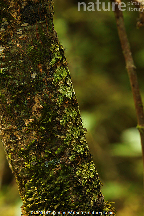 Camouflaged caterpillar on a tree trunk in rainforest at 1,200 metres, Ranomafana National Park, Madagascar  ,  AFRICA,CAMOUFLAGE,HABITAT,INSECTS,MADAGASCAR,NP,TROPICAL RAINFOREST,VERTICAL,Invertebrates,National Park  ,  Alan Watson