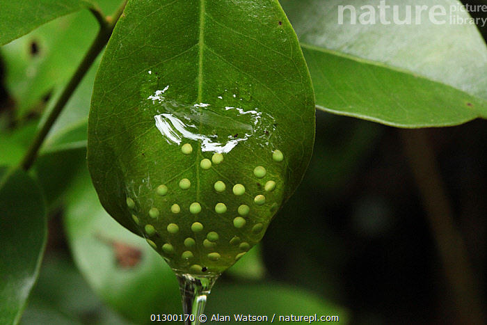 Frog's eggs on a leaf in rainforest at 1,200 metres, Ranomafana National Park, Madagascar  ,  AFRICA,EGGS,MADAGASCAR,NP,TREE FROGS,TROPICAL RAINFOREST,National Park  ,  Alan Watson