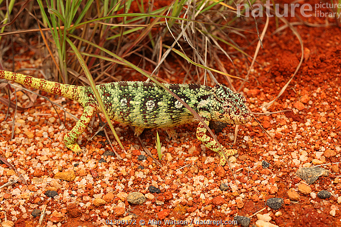 Female Oustalet's chameleon (Furcifer oustaleti) walking on ground, near Ihosy, Madagascar  ,  CHAMELEONS,FEMALES,LIZARDS,MADAGASCAR,PATTERNS,REPTILES,STRIPES,VERTEBRATES,WALKING  ,  Alan Watson