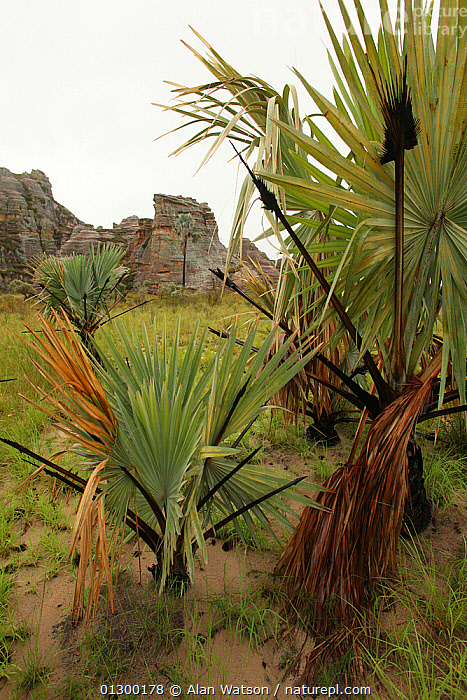 Palm trees (Bismarkia nobilis) native to Madagascar, and sandstone rock formations, Isalo National Park, Madagascar January 2009  ,  AFRICA,CLIFFS,GEOLOGY,HABITAT,LANDSCAPES,NP,VERTICAL,National Park  ,  Alan Watson