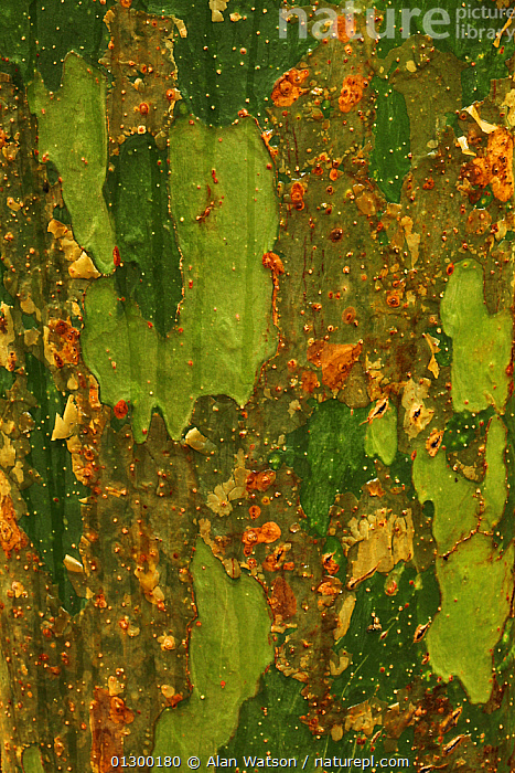 Detail of trunk of Romby tree (Commiphora mahafaliensis) in tropical deciduous forest, Zombitse-Vohibasia National Park, Madagascar  ,  ABSTRACT,AFRICA,BARK,CLOSE UPS,DETAILS,MACRO,NP,PATTERNS,TEXTURES,TREES,TROPICAL,TROPICAL RAINFOREST,TRUNKS,VERTICAL,Plants,National Park  ,  Alan Watson