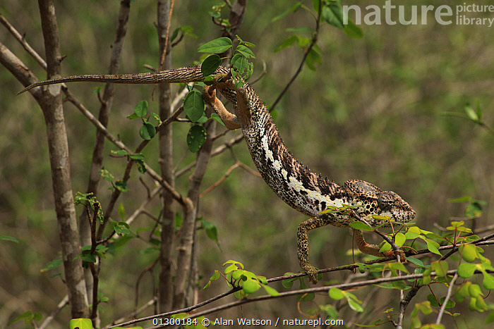 Warty chameleon (Furcifer verrucosus)  climbing through vegetation in spiny forest, Reniala Reserve, southwest Madagascar  ,  CHAMELEONS,CLIMBING,LIZARDS,MADAGASCAR,REPTILES,VERTEBRATES  ,  Alan Watson