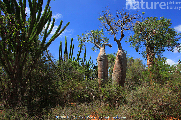 Baobab trees (Adansonia rubrostipa) and Sogno (Didierea madagascariensis) in spiny forest, Reniala Reserve, Madagascar January 2009  ,  CACTI,DICOTYLEDONS,FORESTS,HABITAT,MADAGASCAR,MALVACEAE,PLANTS,RESERVE,TREES,WOODLANDS  ,  Alan Watson