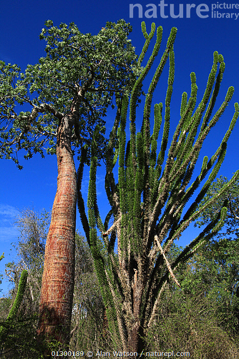 Baobab trees (Adansonia rubrostipa) and Sogno (Didierea madagascariensis) in spiny forest, Reniala Reserve, Madagascar  ,  CACTI,DICOTYLEDONS,FORESTS,HABITAT,MADAGASCAR,MALVACEAE,PLANTS,RESERVE,TREES,VERTICAL  ,  Alan Watson