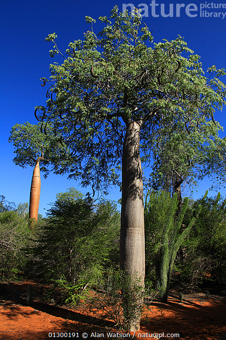Baobab tree (Adansonia rubrostipa) and Fengoke tree (Delonix decaryi) (centre) Reniala Reserve, Madagascar  ,  DICOTYLEDONS,FORESTS,HABITAT,MADAGASCAR,MALVACEAE,PLANTS,RESERVE,TREES,VERTICAL  ,  Alan Watson
