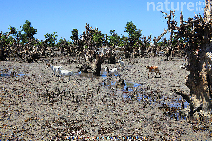 Herd of domestic goats among degraded mangroves, North of Mangily, Madagascar January 2009  ,  AFRICA,DEFORESTATION,DOMESTIC GOAT,GROUPS,HABITAT,MADAGASCAR,MANGROVES  ,  Alan Watson