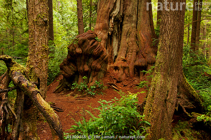 Temperate rainforest with giant Western Red Cedar trees (Thuja plicata) Olympic National Park, Washington, USA.  ,  CONIFEROUS,CONIFERS,CUPRESSACEAE,GYMNOSPERMS,NP,PLANTS,RESERVE,TEMPERATE RAINFOREST,TREES,TRUNKS,National Park  ,  Tim Laman