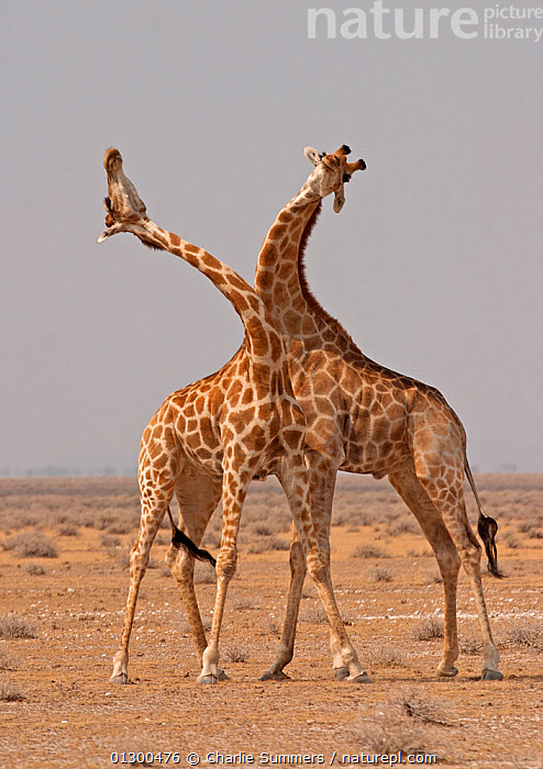 Two Giraffes (Giraffa camelopardalis) use their necks in fight for dominance, Etosha Pan, Namibia, Southern Africa, ARTIODACTYLA,DOMINANCE,FIGHTING,GIRAFFES,GIRAFFIDS,MAMMALS,SAVANNA,SOUTHERN AFRICA,two,VERTEBRATES,VERTICAL,Aggression,Grassland, Charlie Summers