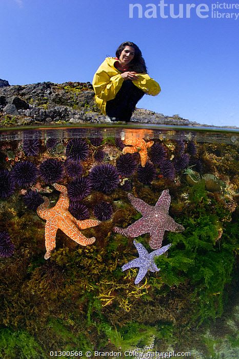 Woman (model released) explores tidepools exposed during a summer's extreme low tide. Split level view of a tidepool, marine life includes Ochre sea stars (Pisaster ochraceus), Purple sea urchins (Stronglyocentrotus purpuratus) and various algaes. Oregon Coast, USA, Pacific Ocean.  ,  ASTEROIDEA,COASTAL WATERS,ECHINODERMS,GROUPS,INVERTEBRATES,LITTORAL,MARINE,MIXED SPECIES,OUTDOORS,PEOPLE,RESEARCH,SEA STARS,SEA URCHINS,SPLIT LEVEL,STARFISH,TEMPERATE,TIDEPOOLS,UNDERWATER,VERTICAL,WOMAN,Intertidal,North America  ,  Brandon Cole