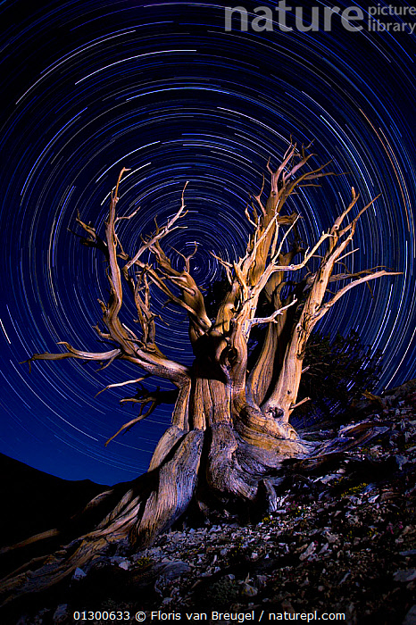 An ancient Bristlecone Pine tree (Pinus aristata) under a clear star-lit night sky with star trails, White Mountains, California, USA. July 2007.  ,  CIRCLES,CONIFERS,GYMNOSPERMS,LANDSCAPES,LIGHT,MAGICAL,NIGHT,PINACEAE,PINES,PLANTS,SKY,STARS,TIME EXPOSURE,TREES,VERTICAL  ,  Floris van Breugel