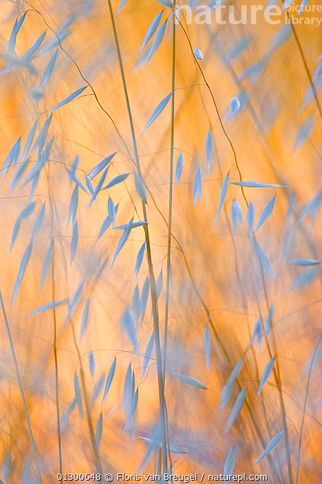 Wild oats (Avena)  Mt. Diablo State Park, California, USA., CLOSE UPS,GOLD,GOLDEN,GRAINS,GRAMINEAE,GRASSES,MONOCOTYLEDONS,NP,PLANTS,POACEAE,SEEDS,USA,VERTICAL,National Park,North America, Floris van Breugel