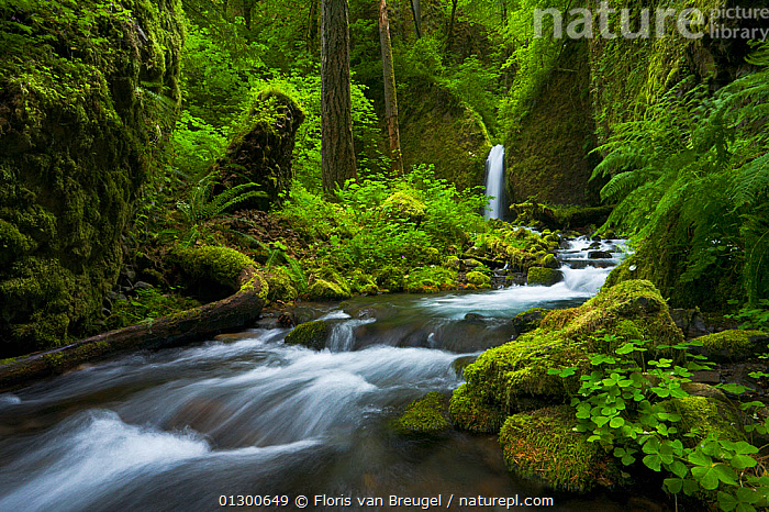Colombia River Gorge, with green mosses and diverse array of vegetation in the surrounding forest, Spring, Oregon, USA, June 2008., FERNS,FORESTS,GREEN,NORTH AMERICA,RIVERS,SPRING,TEMPERATE,TEMPERATE FORESTS,TEMPERATE RAINFOREST,TIME EXPOSURE,WATER,WATERFALLS,Plants, Floris van Breugel