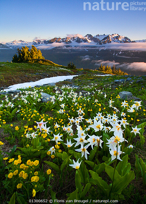 Avalanche lilies (Erythronium montanum) blooming in colourful alpine meadow, with glaciated Mount Olympus behind, Olympic National Park's backcountry Bailey Range, Washington, USA. July 2008., ALPINE,COLOURFUL,FLOWERS,LANDSCAPES,LILIACEAE,LILIES,MEADOWLAND,MOUNTAINS,NORTH AMERICA,NP,USA,VERTICAL,WHITES,Grassland,National Park, Floris van Breugel