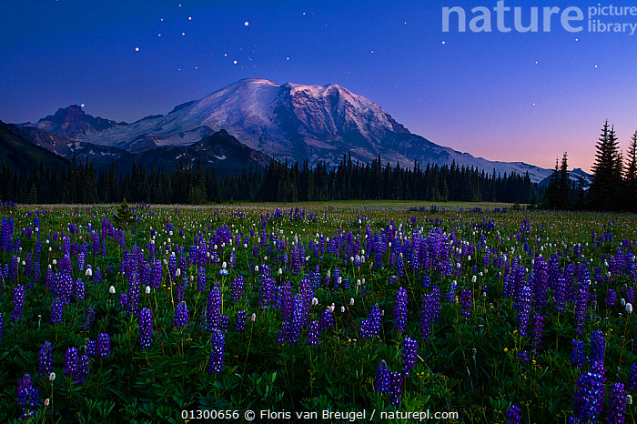 Twilight view of Mt. Rainier, under a clear night filled with stars, and alpine meadow of Lupins (Lupinus) in the foreground Mt. Rainer National Park, Washington, USA. August 2008. Double exposure., ALPINE,ATMOSPHERIC,BLUE,COLOURFUL,DUSK,FLOWERS,LANDSCAPES,MOUNTAINS,MOUNT RAINIER,NORTH AMERICA,NP,SKY,SNOW,STARS,USA,National Park, Floris van Breugel