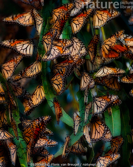 Monarch Butterflies (Danaus plexippus) roosting in winter in dense groups, Southern California, USA, animal marking,ARTHROPODS,BACKGROUNDS,BUTTERFLIES,California,catalogue3,close up,CLOSE UPS,full frame,group of animals,GROUPS,INSECTS,INVERTEBRATES,large group of animals,LEPIDOPTERA,many,mass,multitude,nature,Nobody,outdoors,preparation,roosting,safety in numbers,USA,VERTICAL,WILDLIFE,WINTER,North America, Floris van Breugel