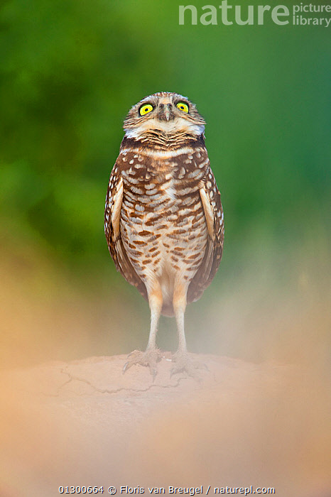 Burrowing Owl (Athene cunicularia) standing at entrance to burrow, and watching a Red-tailed Hawk circling above. Salton Sea, California, USA., alert,animal portrait,anxiety,anxious,BIRDS,BIRDS OF PREY,California,catalogue3,CHARACTERFUL,close up,CLOSE UPS,differential focus,facial expression,fear,focus on background,Frightened,front view,full length,funny,human characteristic,HUMOROUS,humour,looking up,Nobody,one animal,outdoors,OWLS,plumage,PORTRAITS,Salton Sea,selective focus,STANDING,staring,USA,VERTEBRATES,VERTICAL,watchful,watching,WILDLIFE,worried,yellow eyes,Concepts,North America,Raptor, Floris van Breugel