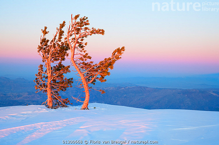 Two Limber Pine trees (Pinus flexilis) lit by the low sun, over the snow covered summit of Telescope Peak from the Charcoal Kilns, with desert landscape beyond, Death Valley National Park. California, USA, March 2009., ATMOSPHERIC,California,catalogue3,Charcoal Kilns,cliff,COLOURFUL,CONIFERS,copyspace,Death Valley,desert,DESERTS,DUSK,Evening,GYMNOSPERMS,high up,isolated,landscape,LANDSCAPES,national park,nature,Nobody,NORTH AMERICA,NP,outdoors,PINACEAE,PINES,PLANTS,remote,resilience,SNOW,SUNSET,Telescope Peak,TREES,USA,windswept,WINTER, Floris van Breugel