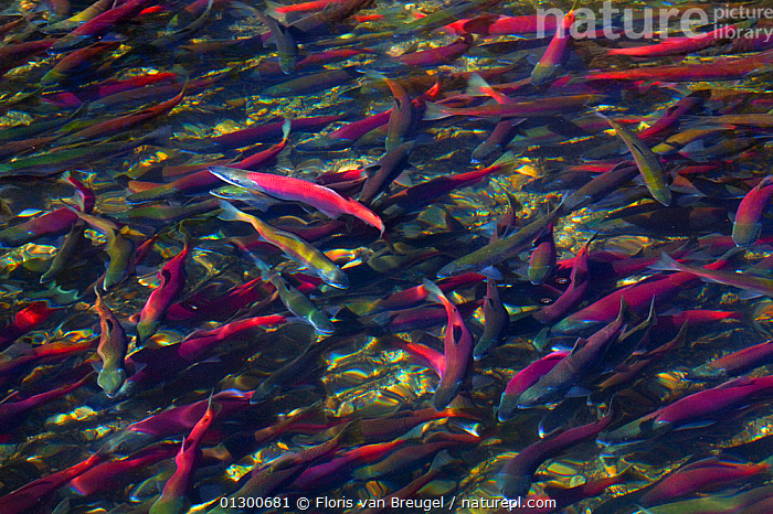 Kokanee Salmon (Oncorhynchus nerka) on Autumn migration up Taylor Creek from Lake Tahoe, California, USA., AUTUMN,BACKGROUNDS,California,catalogue3,close up,CLOSE UPS,FISH,FRESHWATER,full frame,group of animals,GROUPS,hues,Lake Tahoe,large group of animals,many,mass,MIGRATION,multitude,nature,Nobody,OSTEICHTHYES,outdoors,RED,RIVERS,safety in numbers,SALMON,shades of color,shades of colour,shoals,SURFACE,SWIMMING,Taylor Creek,USA,VERTEBRATES,WATER,WILDLIFE,North America, Floris van Breugel