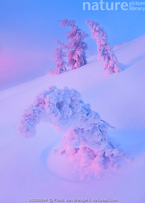 Dawn casts reflected pink light on snow covered, frozen trees, Drake Peak,  Warner Range, Oregon, USA. January 2010., ATMOSPHERIC,BLUE,COLD,COLOURFUL,DAWN,ETHEREAL,LANDSCAPES,MAGICAL,MOUNTAINS,NORTH AMERICA,SNOW,TREES,USA,VERTICAL,WINTER,PLANTS, Floris van Breugel