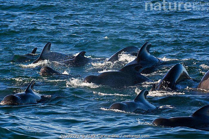 Pod of Short-finned pilot whales (Globicephala macrorhynchus) at surface, Sea of Cortez, Baja California, Mexico, CENTRAL AMERICA,CETACEANS,GROUPS,MAMMALS,MARINE,PACIFIC,SURFACE,TROPICAL,VERTEBRATES,WHALES,MEXICO,CENTRAL-AMERICA, Mark Carwardine