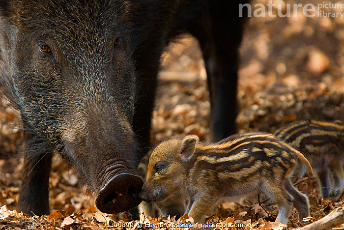 Wild boar (Sus scrofa) mother watching over tiny piglets, the Netherlands, April, ARTIODACTYLA,BABIES,BOARS,CUTE,EUROPE,HOLLAND,INTERACTION,MAMMALS,MOTHER BABY,NOSES,NOSTRILS,PIGS,SNIFFING,THE NETHERLANDS,VERTEBRATES,WOODLANDS, Edwin Giesbers