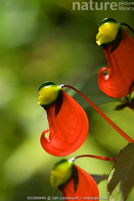 Balsam (Impatiens sp) Western ghats, southern India  ,  ASIA,DICOTYLEDONS,ENDEMIC,FLOWERS,GERANIACEAE,GERANIUM,INDIAN SUBCONTINENT,PLANTS,RED,VERTICAL  ,  Ian Lockwood