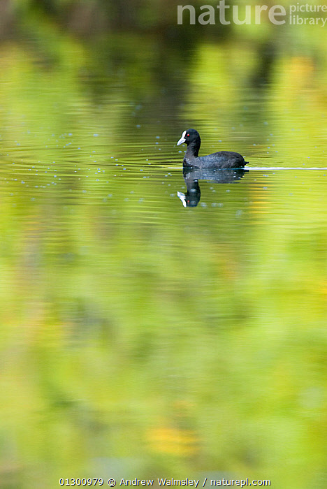 Eurasian Coot (Fulica atra) on water, Christchurch, New Zealand, February  ,  ALONE,BIRDS,BLACK,catalogue3,christchurch,close up,CLOSE UPS,COOTS,GREEN,human characteristic,introduced,Lake,lonely,lost,nature,negative space,new zealand,NEW ZEALAND,Nobody,one animal,outdoors,REFLECTIONS,solitary,VERTEBRATES,WATER,WATERFOWL,WILDLIFE  ,  Andrew Walmsley