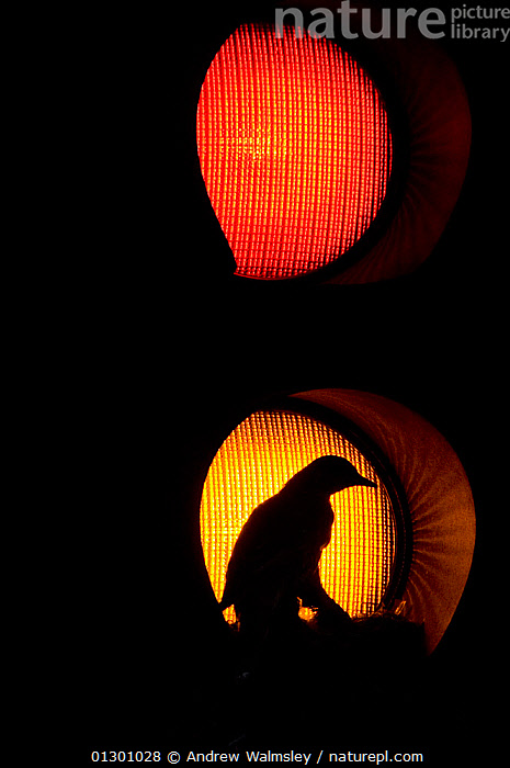 Silhouette of adult Mistle thrush (Turdus viscivorus) nesting in amber traffic light, Glasgow, Scotland, UK, May 2006. Highly commended in Urban and Garden Wildlife category for Wildlife Photographer of the Year competition 2007.  ,  adaptation,adaption,AWARDS,backlit,bird,BIRDS,BLACK,catalogue3,city,EUROPE,Glasgow,LIGHTS,nature,nesting,NESTS,NIGHT,one animal,outdoors,quirky,RED,resourceful ,SCOTLAND,Silhouette,SILHOUETTES,THRUSHES,TRAFFIC,traffic light,UK,URBAN,VERTEBRATES,VERTICAL,United Kingdom  ,  Andrew Walmsley