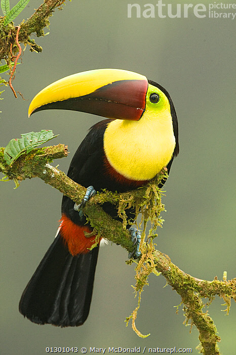 Chestnut-mandibled Toucan (Ramphastos ambiguus swainsonii) adult bird perched on the edge of the forest. Laguana del Lagarto, Costa Rica, Central America.  ,  BIRDS, CENTRAL-AMERICA, COLOURFUL, PORTRAITS, TOUCANS, TROPICAL-RAINFOREST, VERTEBRATES, VERTICAL, YELLOW  ,  Mary McDonald