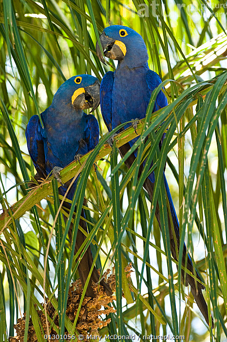 Hyacinth Macaws  (Anodorhynchus hyacinthinus) pair perched in Palm tree, the Pantanal, Brazil, South America.  ,  BIRDS,ENDANGERED,MACAWS,MALE FEMALE PAIR,PARROTS,SOUTH AMERICA,VERTEBRATES,VERTICAL,WETLANDS  ,  Mary McDonald