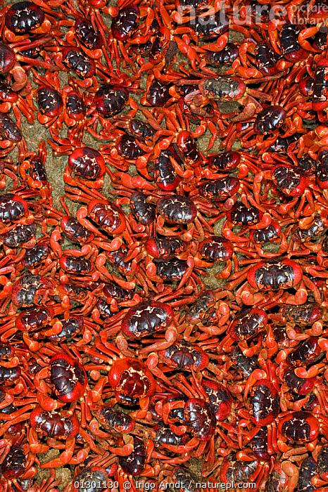 Christmas Island Red Crabs (Gecarcoidea natalis) arriving in huge numbers, at coast for spawning, Christmas Island, Indian Ocean, Australian Territory, ARTHROPODS,BEHAVIOUR,CRABS,CRUSTACEANS,GROUPS,INDIAN OCEAN ISLANDS,INVERTEBRATES,LAND CRABS,MANY,MASS,MIGRATION,PATTERNS,RED,SOUTH EAST ASIA, Ingo Arndt
