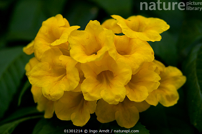 Nature Picture Library Flowering Yellowbbells Tecoma Stans An