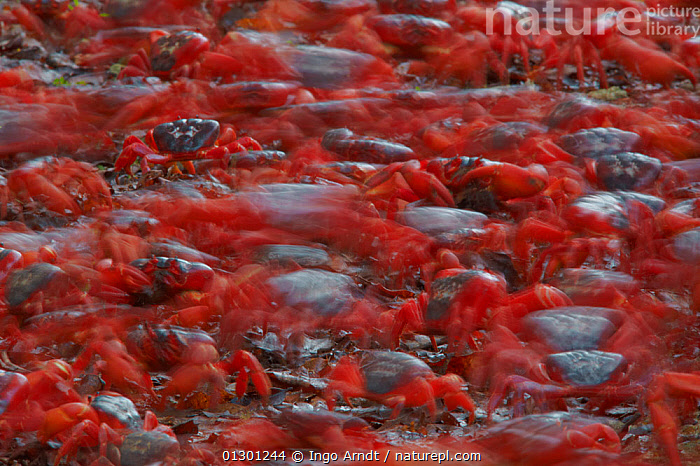 Christmas Island Red Crab (Gecarcoidea natalis) blurred view of vast number of individuals moving along their annual migration route, Christmas Island, Indian Ocean, Australian Territory, ABSTRACT,ARTHROPODS,CHRISTMAS ISLAND,CRABS,CRUSTACEANS,GROUPS,INVERTEBRATES,LAND CRABS,MANY,MASS,MIGRATION,MOVEMENT,RED,TIME EXPOSURE,INDIAN OCEAN ISLANDS, Ingo Arndt