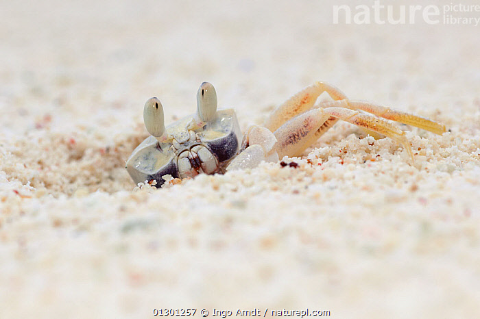 Horn-eyed ghost crab (Ocypode ceratophthalma) camouflaged in the sand, emerging from burrow, Christmas Island, Indian Ocean, Australian Territory  ,  ARTHROPODS, burrows, CAMOUFLAGE, CRABS, CRUSTACEANS, GHOST-CRABS, INVERTEBRATES, sand,INDIAN OCEAN ISLANDS  ,  Ingo Arndt