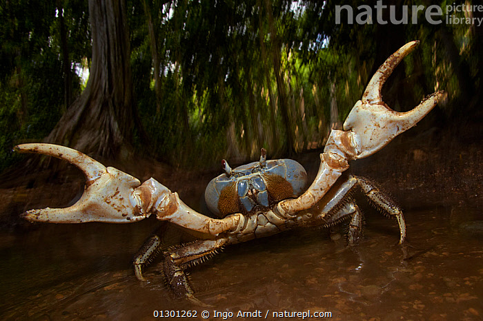 Blue Crab (Discoplax hirtipes) with claws raised in defensive / aggressive posture, endemic to Christmas Island, Indian Ocean, Australian Territory, AGGRESSION,BEHAVIOUR,CHRISTMAS ISLAND,CLAWS,CRUSTACEANS,DECOPODS,DEFENSIVE,GECARCINIDAE,INVERTEBRATES,LAND CRABS,TROPICAL RAINFOREST,Concepts, Ingo Arndt