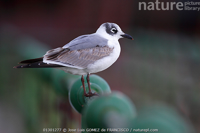 Franklin's gull (Leucophaeus pipixcan) young in winter plumage perched on metal rail, Vizcaya, Spain, March. Vagrant from North America.  ,  BIRDS, EUROPE, GULLS, JUVENILE, PROFILE, SEABIRDS, SPAIN, URBAN, VERTEBRATES  ,  Jose Luis GOMEZ de FRANCISCO