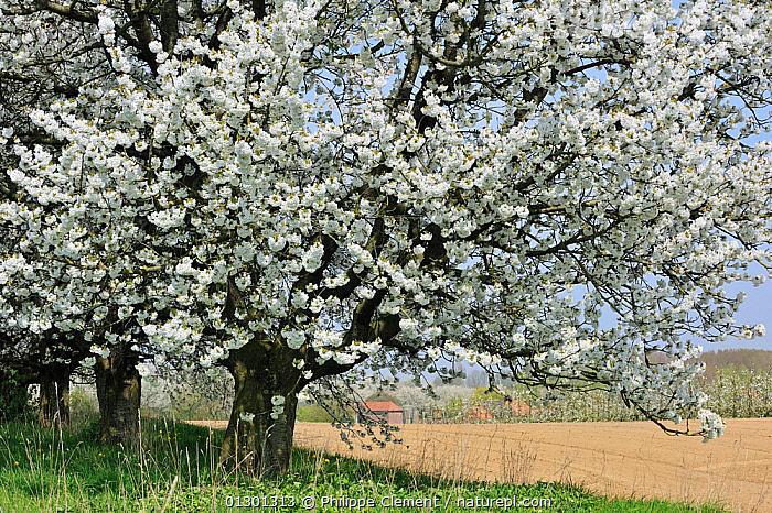 Orchard with Cherry trees in blossom (Prunus / Cerasus avium) Haspengouw, Belgium  ,  BELGIUM,BLOSSOM,DICOTYLEDONS,EUROPE,FLOWERS,ORCHARDS,PLANTS,ROSACEAE,SPRING,TREES  ,  Philippe Clement