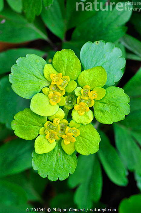 Opposite-leaved Golden saxifrage (Chrysosplenium oppositifolium) Luxembourg  ,  CLOSE UPS,DICOTYLEDONS,EUROPE,FLOWERS,GREEN,LEAVES,LUXEMBOURG,PLANTS,SAXIFRAGACEAE  ,  Philippe Clement