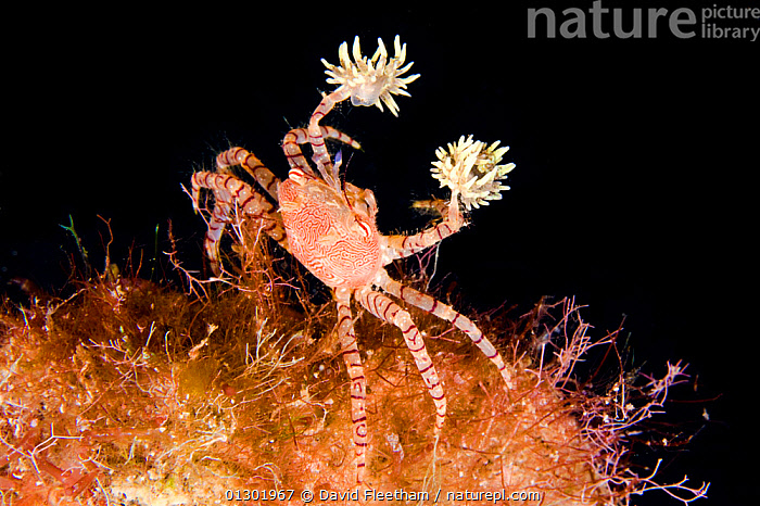 Hawaiian pom-pom / boxer crab (Lybia edmondsoni)with anemones (Triactis sp) that it carries around holding with the claws and using them for defense, waving in front of the possible aggressor. An example of mutualistic symbiosis, the benefit for the anemone is in being transported around, with more ease in finding the food. Hawaii, endemic  ,  BEHAVIOUR,CRABS,CRUSTACEANS,HAWAII,INTERESTING,INVERTEBRATES,MARINE,MIXED SPECIES,PACIFIC,PACIFIC ISLANDS,SEA ANEMONES,SYMBIOSIS,TROPICAL,UNDERWATER,XANTHIDAE,USA,Concepts,Partnership,North America  ,  David Fleetham