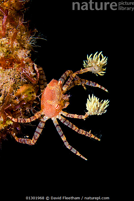 Hawaiian pom-pom / boxer crab (Lybia edmondsoni)with anemones (Triactis sp) that it carries around holding with the claws and using them for defense, waving in front of the possible aggressor. An example of mutualistic symbiosis, the benefit for the anemone is in being transported around, with more ease in finding the food. Hawaii, endemic  ,  ANTHOZOANS,BEHAVIOUR,CONCEPTS,CRABS,CRUSTACEANS,HAWAII,INTERESTING,INVERTEBRATES,MARINE,MIXED SPECIES,PACIFIC,PACIFIC ISLANDS,SEA ANEMONES,SYMBIOSIS,TROPICAL,UNDERWATER,VERTICAL,XANTHIDAE,USA,Partnership,North America  ,  David Fleetham