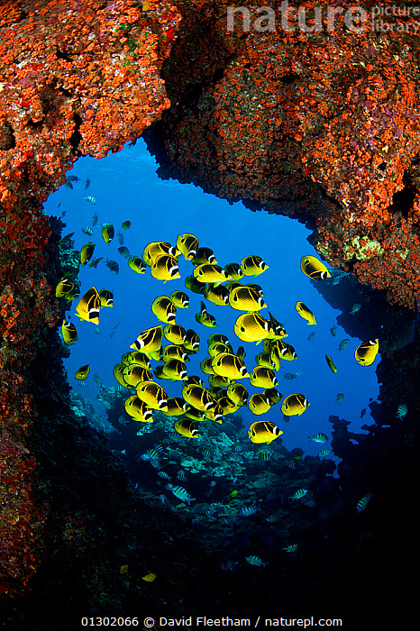 Schooling Raccoon butterflyfish (Chaetodon lunula) framed in a lava formation off the island of Lanai, Hawaii., BUTTERFLYFISH,FISH,HAWAII,MARINE,OSTEICHTHYES,PACIFIC,PACIFIC ISLANDS,TROPICAL,UNDERWATER,VERTEBRATES,VERTICAL,USA,North America, David Fleetham