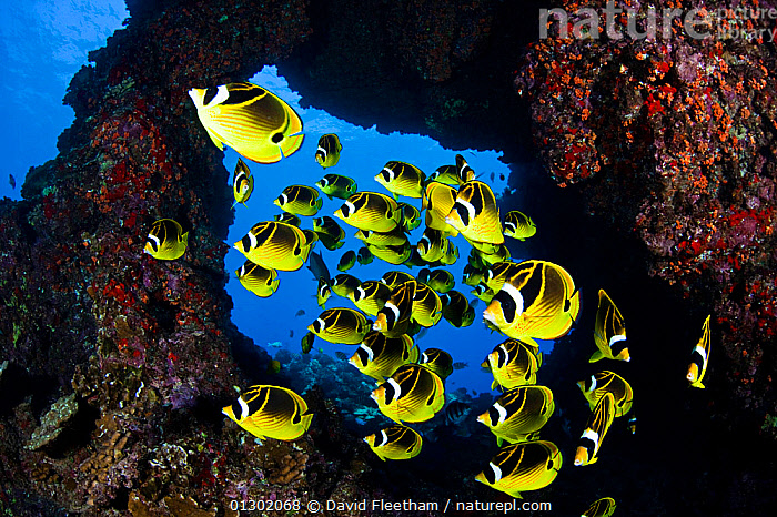 Schooling Raccoon butterflyfish (Chaetodon lunula) framed in a lava formation off the island of Lanai, Hawaii., BUTTERFLYFISH,COLOURFUL,FISH,GROUPS,HAWAII,MARINE,OSTEICHTHYES,PACIFIC,PACIFIC ISLANDS,TROPICAL,UNDERWATER,VERTEBRATES,USA,North America, David Fleetham