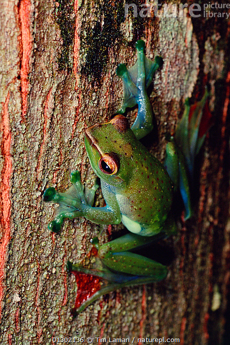Jade treefrog (Rhacophorus dulitensis) on tree trunk in lowland rainforest , Danum Valley Conservation Area, Sabah, Borneo, Malaysia  ,  AMPHIBIANS,ANURA,ASIA,CLIMBING,FEET,FROGS,NP,RESERVE,TREE FROGS,TREES,TROPICAL RAINFOREST,TRUNKS,VERTEBRATES,VERTICAL,National Park,PLANTS  ,  Tim Laman