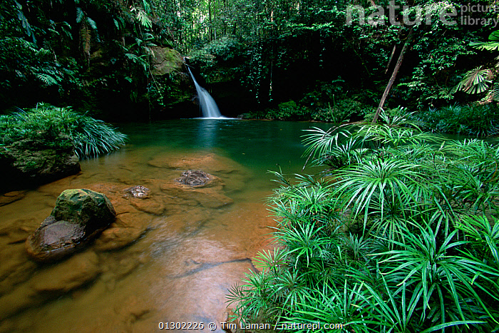 A waterfall in the lowland rainforest of Borneo, with pool surrounded by ferns and other plants. Lambir Hills National Park, Sarawak, Malaysia.  ,  ASIA,borneo,BORNEO ISLAND,CATALOGUE2,FERNS,fertile,HABITAT,idyllic,Lambir Hills National Park,Lowland,lush,Malaysia,nature,Nobody,NP,outdoors,PEACEFUL,PLANTS,pool,rainforest,RESERVE,RIVERS,sarawak,SOUTH EAST ASIA,tranquil scene,TROPICAL RAINFOREST,WATER,waterfall,WATERFALLS,SOUTH-EAST-ASIA,National Park  ,  Tim Laman